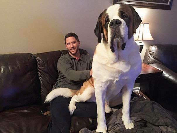 16-biggest-dogs-in-the-world4